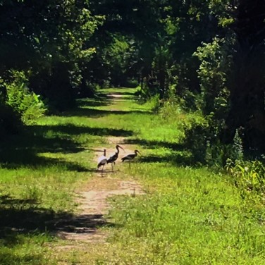 Birds crossing the road.